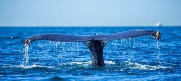 Кабель горбатого кита Мексика Стоковые Фотографии RF