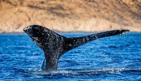 Кабель горбатого кита Мексика Стоковые Изображения