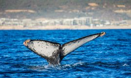 Кабель горбатого кита Мексика Стоковое Изображение