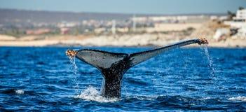 Кабель горбатого кита Мексика Стоковое фото RF