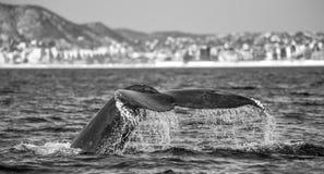 Кабель горбатого кита Мексика Стоковые Фото