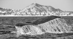Кабель горбатого кита Мексика Стоковая Фотография