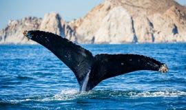 Кабель горбатого кита Мексика Стоковое Фото