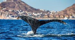Кабель горбатого кита Мексика Стоковое Изображение RF