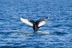 Кабель горбатого кита пробивая брешь, на отключении кита наблюдая, на Исландии Стоковое фото RF