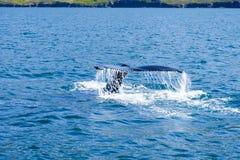 Кабель горбатого кита пробивая брешь, на отключении кита наблюдая, на Исландии Стоковые Изображения RF