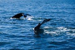 Кабель горбатого кита пробивая брешь, на отключении кита наблюдая, на Исландии Стоковые Фотографии RF