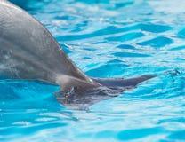 Кабель дельфина в бассейне Стоковое Изображение RF