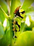 кабель ласточки зеленого цвета цитруса гусеницы Стоковое Фото