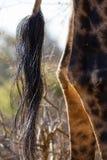Кабель & ноги жирафа Стоковые Изображения RF