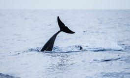 Кабель общего дельфина взгляд сверху Atlantic Ocean Стоковые Изображения