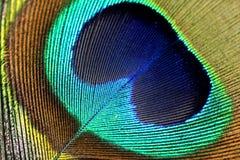 кабель павлина макроса пера Стоковая Фотография RF