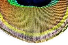 кабель павлина макроса пера Стоковая Фотография