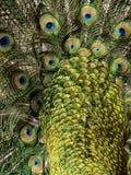 кабель павлина птицы предпосылки Стоковая Фотография