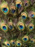 кабель павлина птицы предпосылки Стоковое фото RF