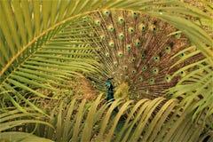 кабель павлина птиц яркий уволенный мыжской стоковое фото rf
