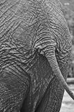 кабель слона Стоковые Фото