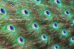 Кабель ` s павлина Справочная информация стоковые изображения rf