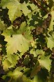 Каберне - листья sauvignon зеленые Стоковое Фото