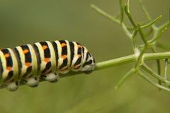 Кабел-к-ласточка бабочки гусеницы - machaon Papilio Стоковое Изображение
