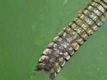Кабель аллигатора Стоковое фото RF