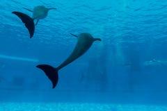 Кабель выставки дельфина в аквариуме подводном Стоковые Фото