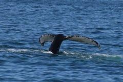 Кабель горбатого кита (двуустка) Стоковое Изображение