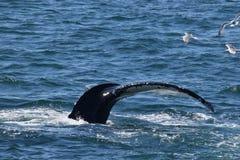Кабель горбатого кита (двуустка) Стоковые Фотографии RF