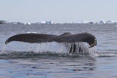 Кабель горбатого кита который пикирования 2 Стоковая Фотография RF