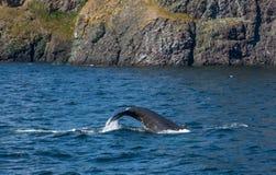 Кабель горбатого кита чуть-чуть из воды Стоковое Изображение