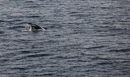 Кабель горбатого кита Стоковое Фото