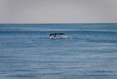 Кабель горбатого кита Стоковая Фотография