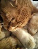 Кабель держа кота Стоковое Фото