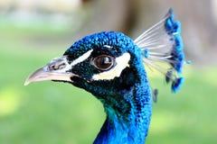 кабель павлина птиц яркий уволенный мыжской Стоковая Фотография