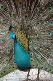 кабель павлина птиц яркий уволенный мыжской Стоковые Фотографии RF