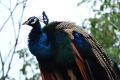 кабель павлина птиц яркий уволенный мыжской Стоковые Фото