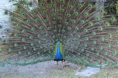 кабель павлина птиц яркий уволенный мыжской Стоковые Изображения RF