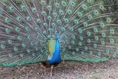 кабель павлина птиц яркий уволенный мыжской Стоковое Изображение