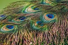Кабель павлина Стоковые Фото