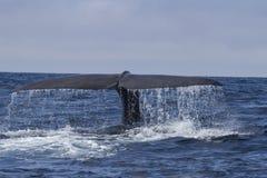 Кабель подныривания кашалота в воду на солнечном Стоковое Изображение