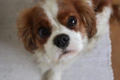 Кавалерийский щенок Spaniel короля Чарльза смотря вверх стоковое изображение