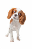 кавалерийский spaniel щенка короля charles Стоковая Фотография RF