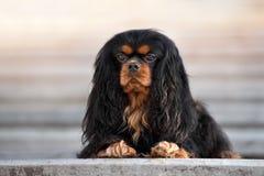 Кавалерийская собака spaniel короля Карла представляя outdoors Стоковые Фото