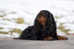 Кавалерийская собака spaniel короля Карла outdoors весной Стоковая Фотография RF
