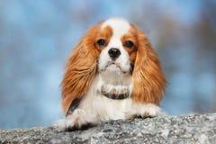 Кавалерийская собака spaniel короля Карла outdoors Стоковые Изображения
