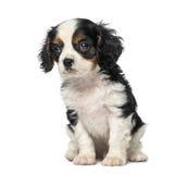 Кавалерийский щенок Spaniel короля Чарльза (8 недель старых) Стоковое Изображение RF