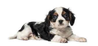 Кавалерийский щенок Spaniel короля Чарльза (8 недель старых) Стоковая Фотография