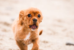 Кавалерийский щенок Spaniel короля Чарльза Стоковая Фотография