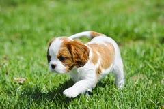 кавалерийский spaniel щенка короля charles Стоковое фото RF