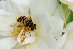 Кавказец цветка макроса летает hoverfly род усаживание Dasysyrphus стоковое изображение rf